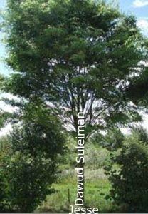 حضرت داؤد کا خاندان - ایک درخت کی طرح